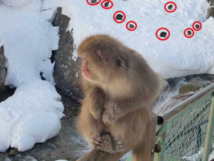 Snow Monkey Park. Monos everywhere