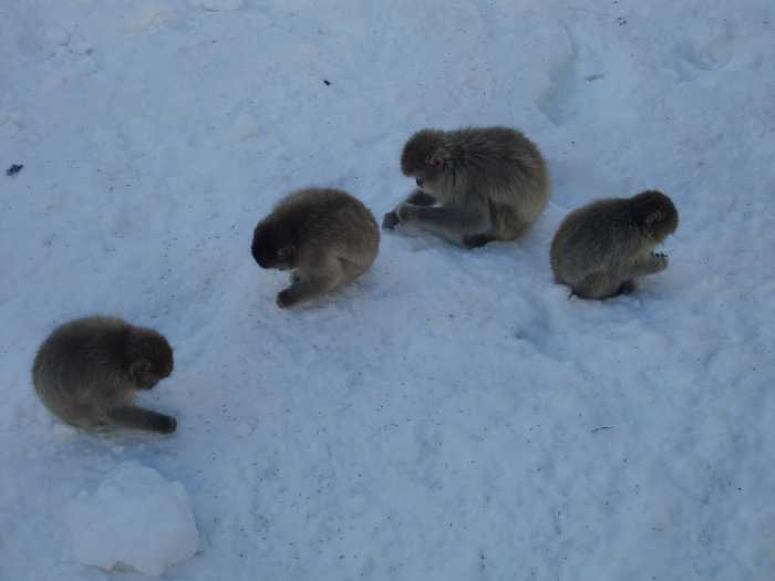 Snow Monkey Park. Grupo de monos