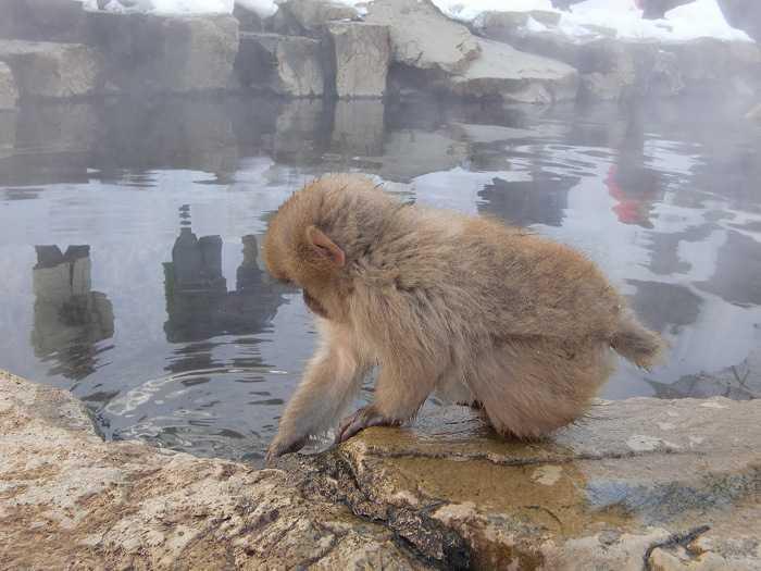 jigokudani_moneky_park_y_visita_a_nagano_008-dentro-de-snow-monkey-park-monos-en-onsen-01