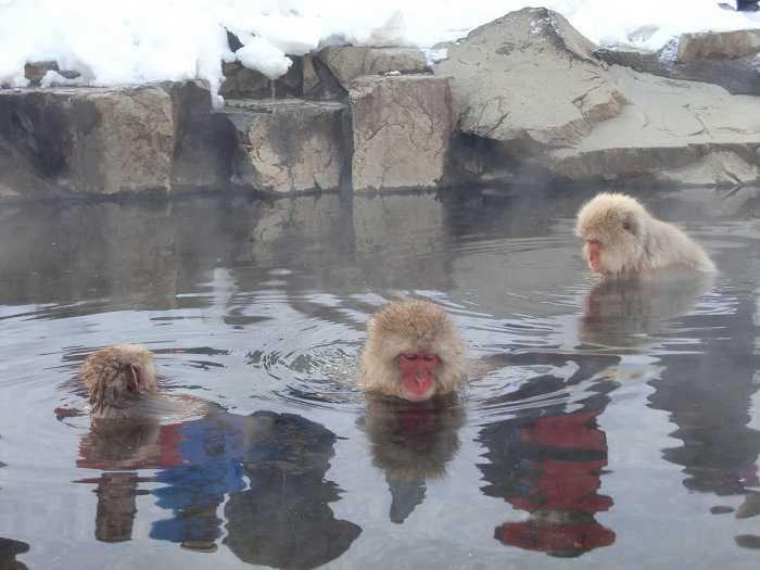 jigokudani_moneky_park_y_visita_a_nagano_008-dentro-de-snow-monkey-park-monos-en-onsen-02