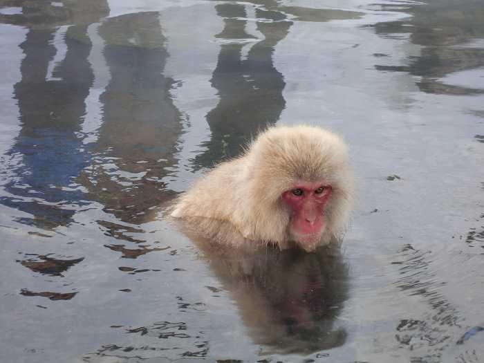 jigokudani_moneky_park_y_visita_a_nagano_008-dentro-de-snow-monkey-park-monos-en-onsen-03