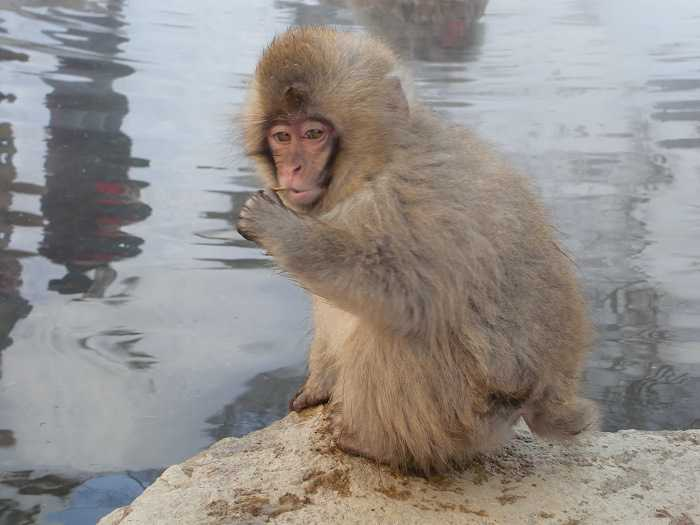 Snow Monkey Park. Monos tomando un baño en el onsen