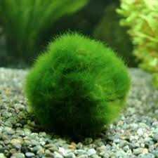 marimo-variedad-de-alga-japonesa