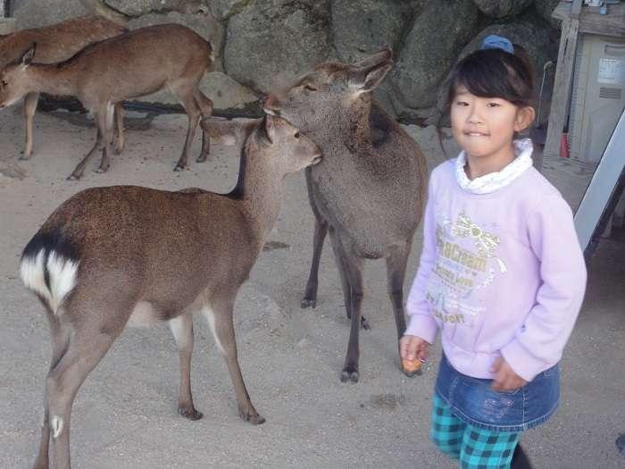 Miyajima ciervo