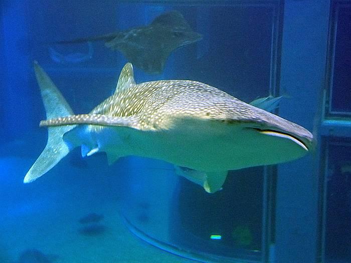 tiburon ballena osaka kai-kun