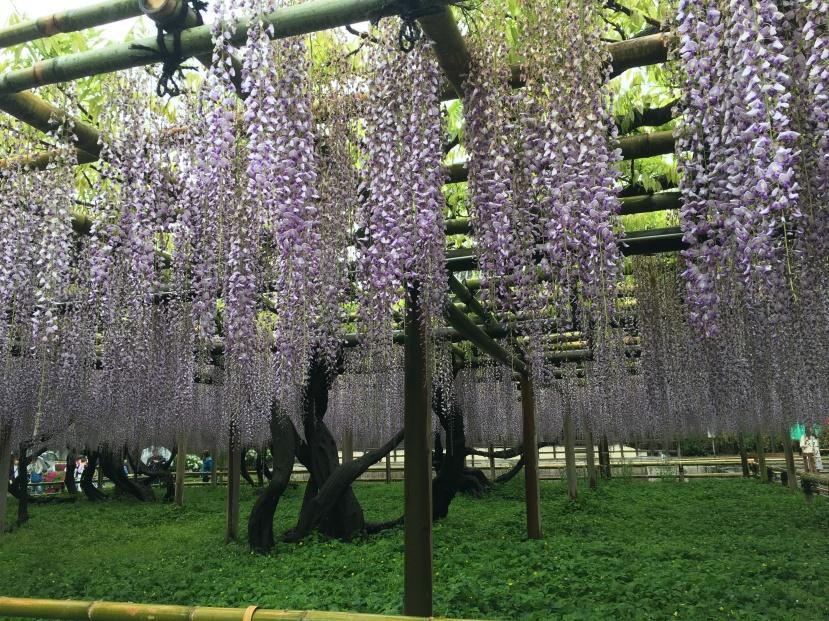 kyoto uji byodo-in azaleas